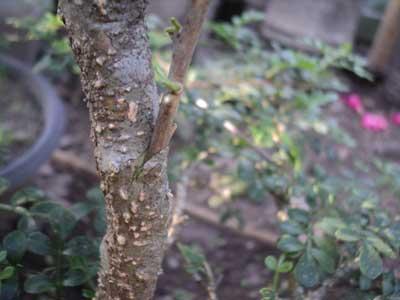 proses-sambung-sisip-bonsai-kawista