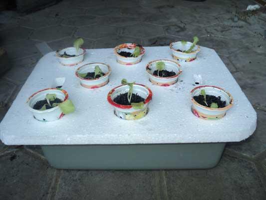 selada-hidroponik-satu-hari-tanam