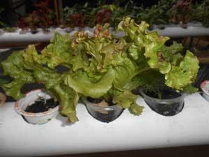 selada-merah-aquaponik