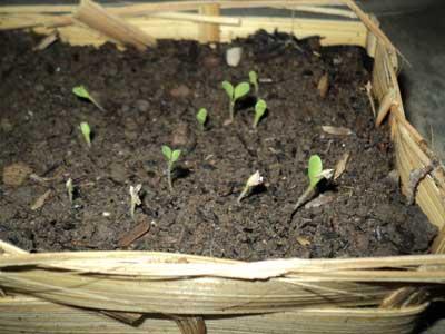 semai-selada-tumbuh