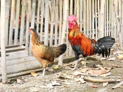 sepasang-ayamketawa