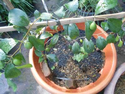 tabulampot-apel-india-berbuah