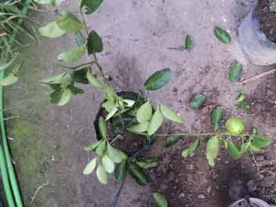 tanam-jeruk-polibag