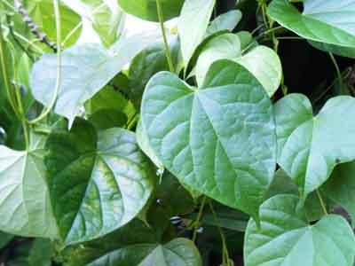tanaman-brotowali