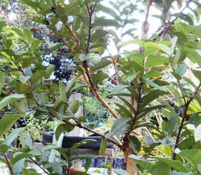 tanaman-jambu-biji