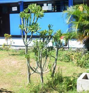 tanaman-sesuru-ornamen-taman