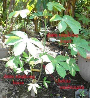 tanaman-singkong-sambung