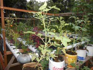 tomat-akuaponik-ember-seri