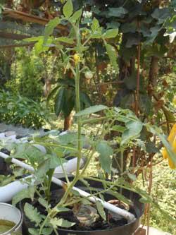 tomat-akuaponik-pot-ember-pasang-surut
