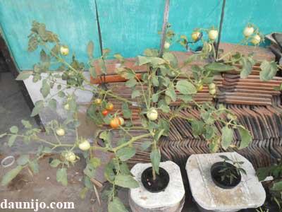 tomat-hidroponik-berbuah-lebat