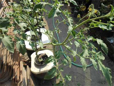 tomat-hidroponik-setelah-35-hari