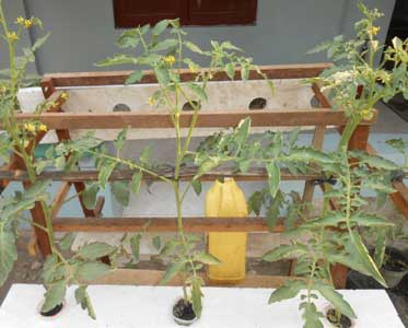 tomat-gelas-talang-berbuah