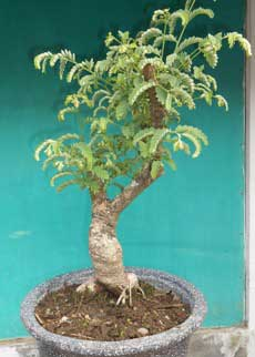 tunas-muda-bonsai-asam