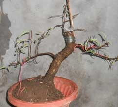 ubah-posisi-miring-bonsai-asam