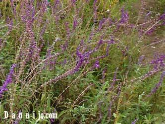 true-lavender
