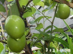 buah-apel-india-3-bulan