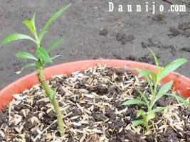 tanam-bunga-false-lavender
