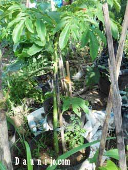 tanaman-suweg-masa-vegetatif