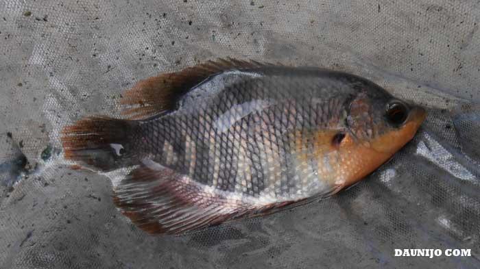 Curah Hujan Tinggi Tebar Bibit Ikan Lebih Hati Hati Daun Ijo