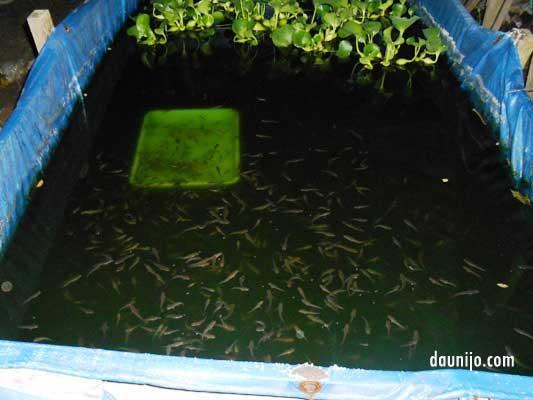 Cara Perawatan Benih Ikan Gabus Usia Satu Bulan Daun Ijo